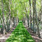 Line of Birch Trees by dbvirago