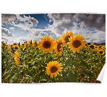 Moody sunflowers Poster