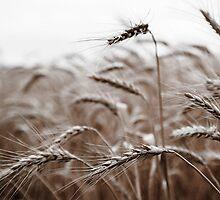 Ready for Harvest by Karyn Knight