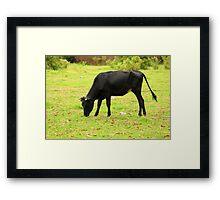 Black Cow Grazing on a Farm Framed Print