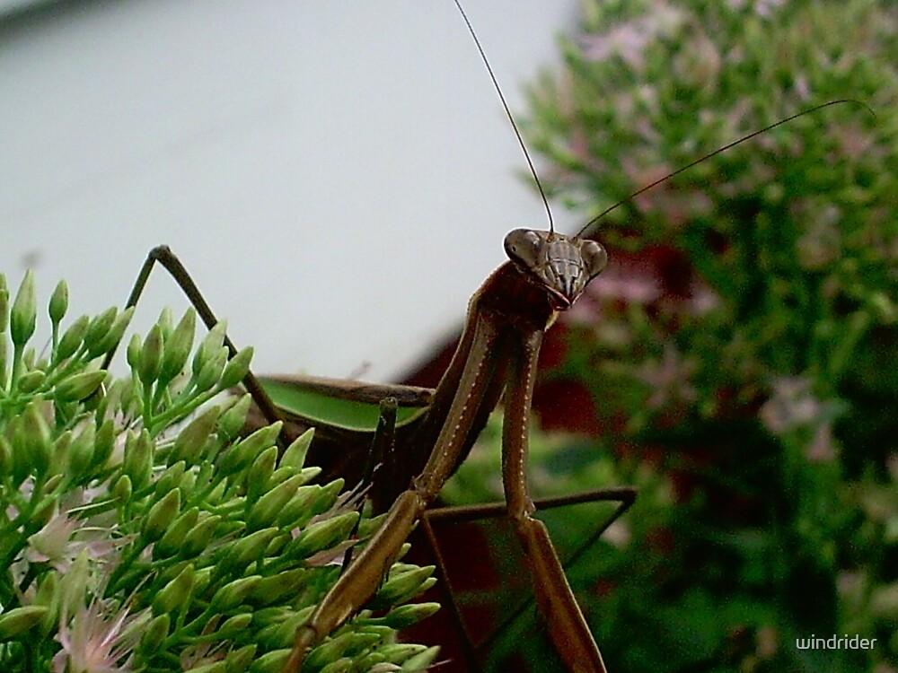 A Praying Mantis Posing.. by windrider