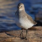 Dunlin by Jim Cumming