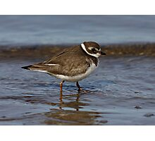 Semipalmated Plover Photographic Print