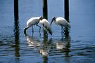Wood Stork trio by Larry  Grayam