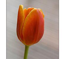 Tulip 101 by Jayne Le Mee