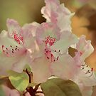Pink rhododendron by shalisa