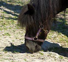 Shetlands Pony #1 by MarianaEwa