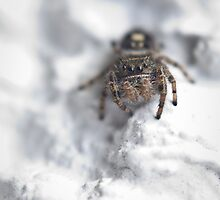 jumping spider, white wall by jude walton