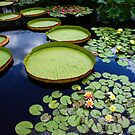 Waterlily Display.... by DaveHrusecky