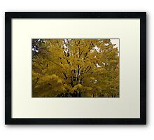 beautiful maple Framed Print