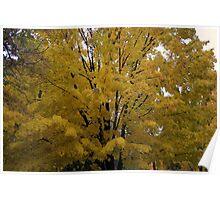 beautiful maple Poster