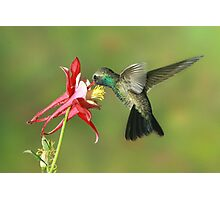 Broad-billed Hummingbird at columbine Photographic Print