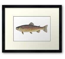 Brown Trout (Salmo trutta) Framed Print