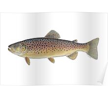 Brown Trout (Salmo trutta) Poster