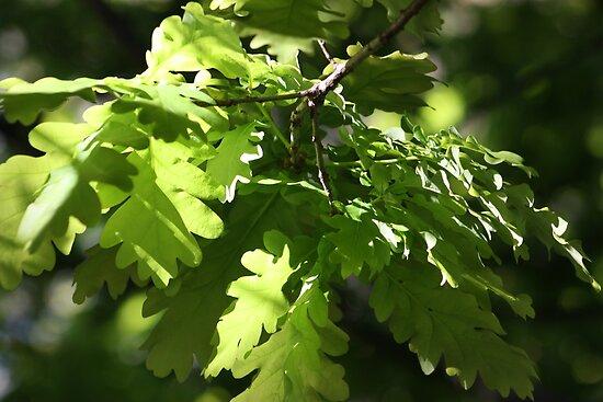 Spring Oak Leaves by Steven Carpinter