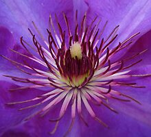 Purple Clematis by snefne