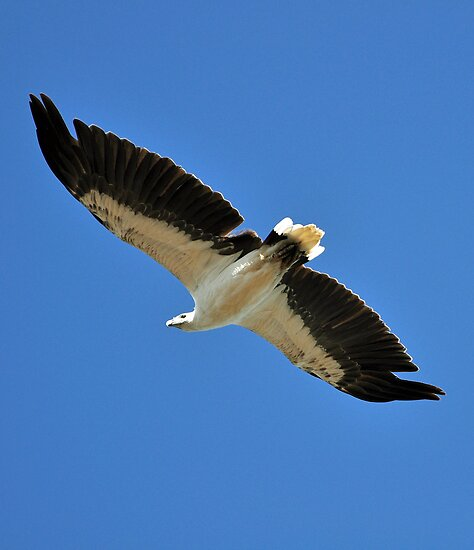 The Magnificent White-bellied Sea Eagle by Janette Rodgers