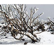 Snowgums 4 Photographic Print