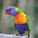 Rainbow Lorikeet   (Trichoglossus haematodus ) by Magee