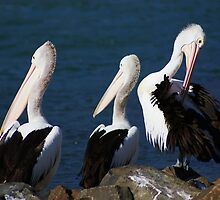 A --------- of Pelicans by Rochelle Buckley