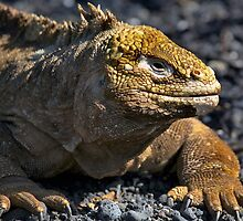 Galapagos Land Iguana by citrineblue
