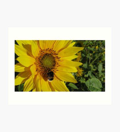 Sunflowers, Belgium Art Print