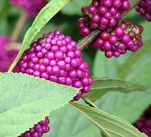 Mother Nature's Beauty Berries by wahumom