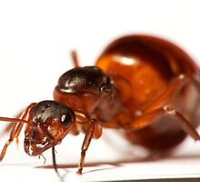 Ant queen close-up by sedeer