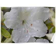 Drowned White Rhododendron Poster