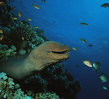 Grinning Moray Eel by George  Perina