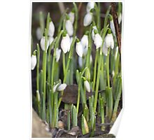 Snowdrop Spring Poster