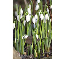 Snowdrop Spring Photographic Print
