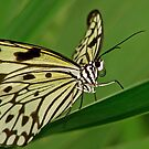 Butterfly4 by Curtis  Sheppard