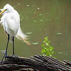 Snowy Egret  by John  Kapusta