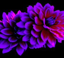 PURPLE DAHLIA  (CARD) by Thomas Barker-Detwiler