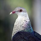 Columba leucomela, White Headed Pigeon 2 by Magee