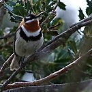Western spinebill by Rick Playle