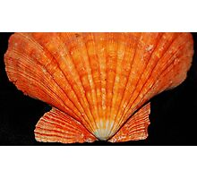 Orange Scallop  Photographic Print