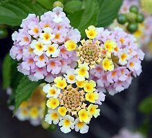 Closeup of Lantana Camara Spanish Flag  by taiche