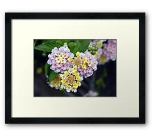 Tropical Plant Lantana Camara or West Indian Lantana Framed Print