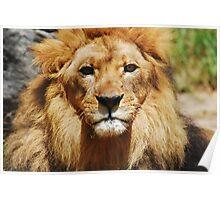 Lion Staredown Poster