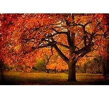 Red Oak Tree Photographic Print