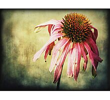 Summer's End ~ Echinacea Photographic Print
