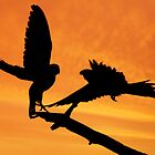 Parakeets at sunset by Rachael Talibart