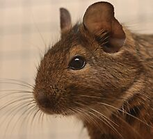 Our new Degus by Jon Lees