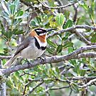 Spinebill of Foxes Lair by Rick Playle