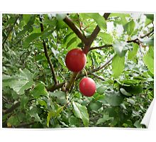 Tree with Berries Poster