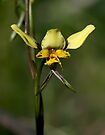 Diuris X Palachilla by LeeoPhotography