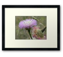 Old and New Star Thistle Framed Print