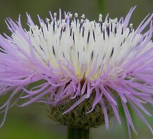 Luminosity of the Basket Flower or Star Thistle by Navigator
